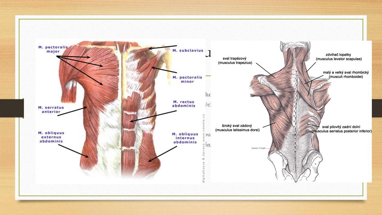 Svaly trupu Svaly hrudníku Velký sval prsní – pomáhá při dýchání a přitahuje paži k hrudníku Bránice – Plochý sval, odděluje břišní a hrudní dutinu, dýchací sval, jsou v ní otvory Malý prsní sval, přední sval pilovitý, mezižeberní svaly Svaly břicha Přímý sval břišní – podélně rozdělen vazivovou přepážkou, vodorovně 3 příčkami šlach Zevní, Vnitřní a příčný sval břišní – i s přímým dělají břišní lis Svaly zad Většinu zad tvoří sval trapézový a široký sval zádový Vzpřimovače páteře