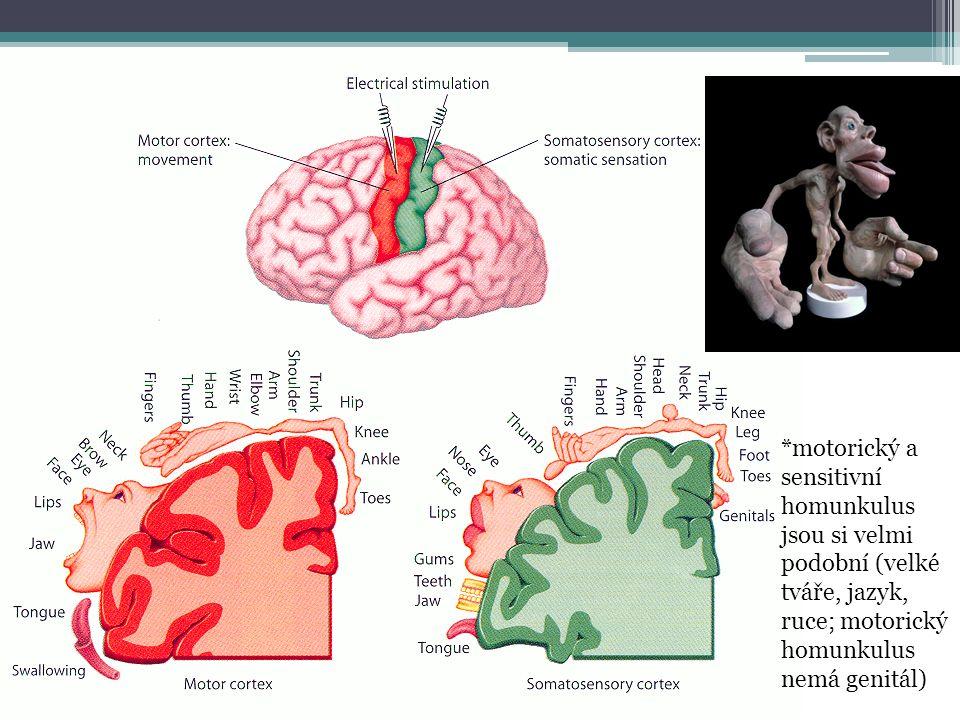 *motorický a sensitivní homunkulus jsou si velmi podobní (velké tváře, jazyk, ruce; motorický homunkulus nemá genitál)