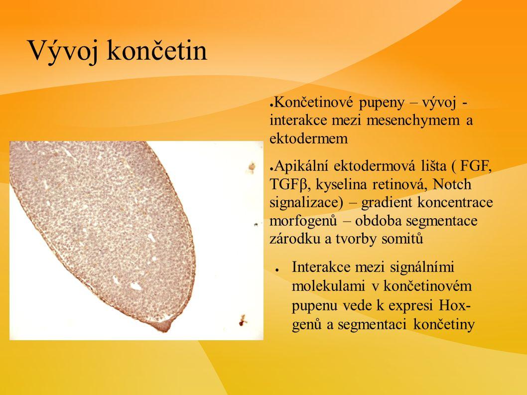 Vývoj končetin ● Končetinové pupeny – vývoj - interakce mezi mesenchymem a ektodermem ● Apikální ektodermová lišta ( FGF, TGF β, kyselina retinová, Notch signalizace) – gradient koncentrace morfogenů – obdoba segmentace zárodku a tvorby somitů ● Interakce mezi signálními molekulami v končetinovém pupenu vede k expresi Hox- genů a segmentaci končetiny