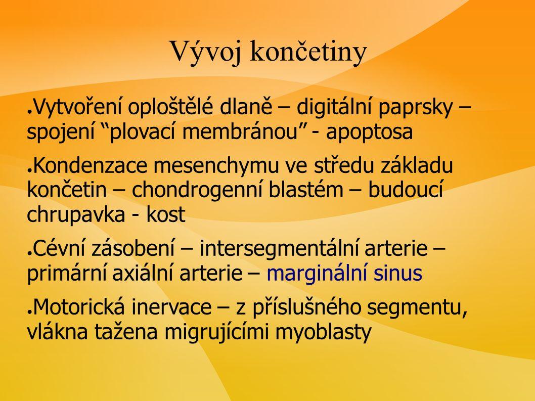 Vývoj končetiny ● Vytvoření oploštělé dlaně – digitální paprsky – spojení plovací membránou - apoptosa ● Kondenzace mesenchymu ve středu základu končetin – chondrogenní blastém – budoucí chrupavka - kost ● Cévní zásobení – intersegmentální arterie – primární axiální arterie – marginální sinus ● Motorická inervace – z příslušného segmentu, vlákna tažena migrujícími myoblasty