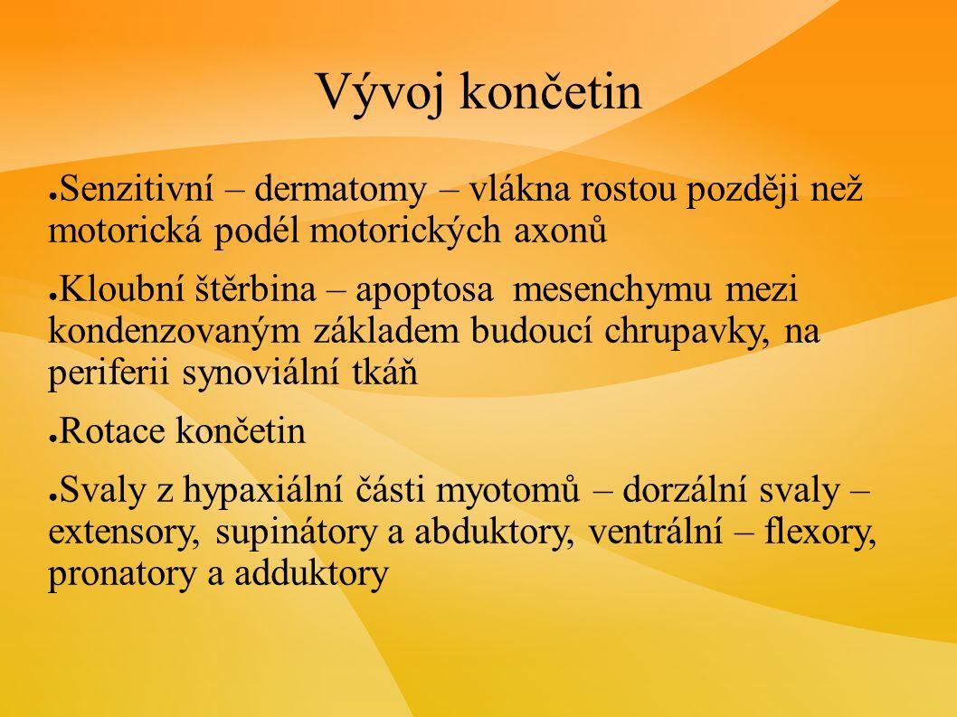 Vývoj končetin ● Senzitivní – dermatomy – vlákna rostou později než motorická podél motorických axonů ● Kloubní štěrbina – apoptosa mesenchymu mezi kondenzovaným základem budoucí chrupavky, na periferii synoviální tkáň ● Rotace končetin ● Svaly z hypaxiální části myotomů – dorzální svaly – extensory, supinátory a abduktory, ventrální – flexory, pronatory a adduktory