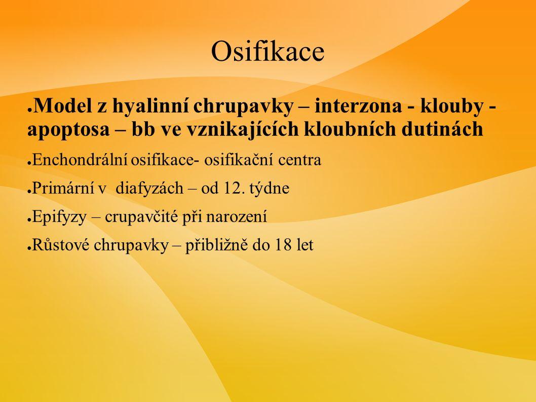 Osifikace ● Model z hyalinní chrupavky – interzona - klouby - apoptosa – bb ve vznikajících kloubních dutinách ● Enchondrální osifikace- osifikační centra ● Primární v diafyzách – od 12.