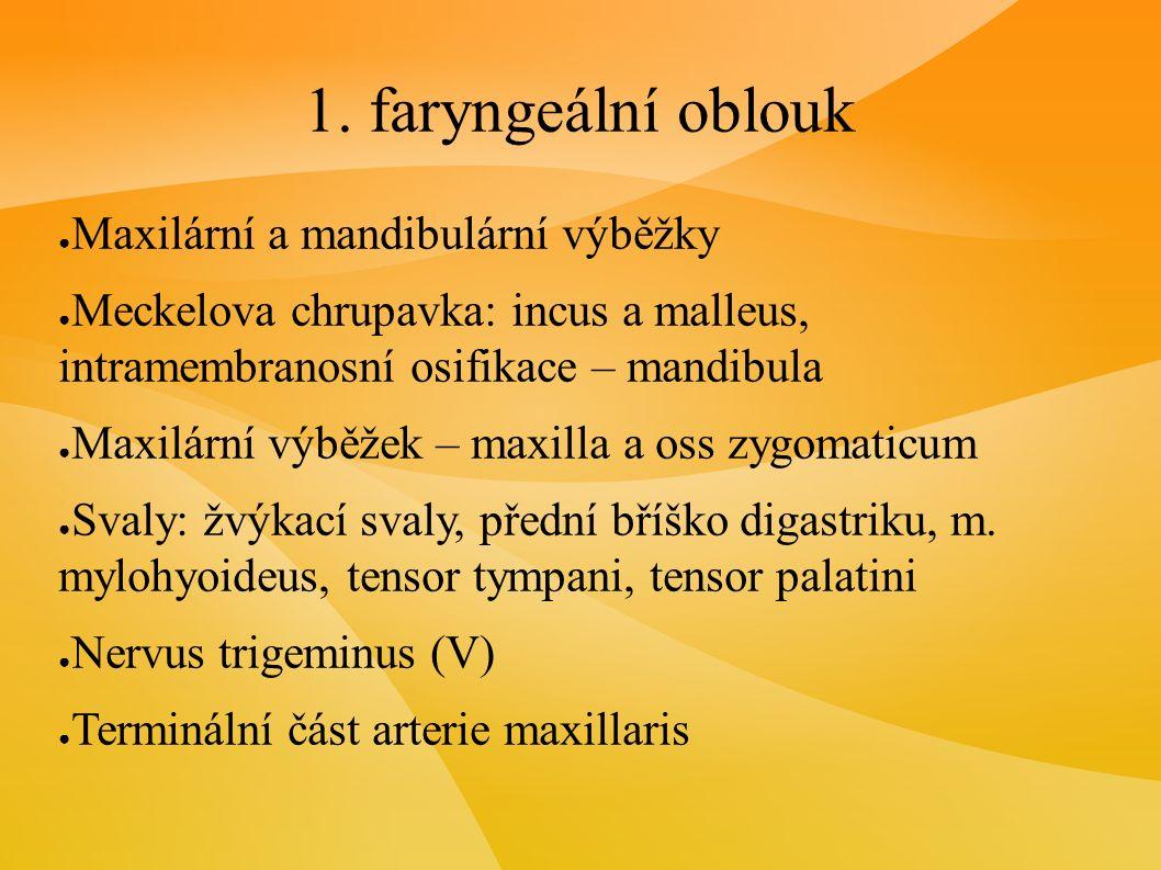 1. faryngeální oblouk ● Maxilární a mandibulární výběžky ● Meckelova chrupavka: incus a malleus, intramembranosní osifikace – mandibula ● Maxilární vý