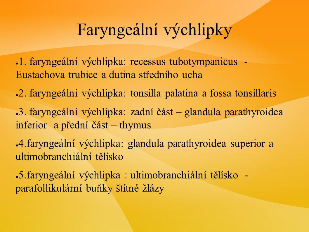 Faryngeální výchlipky ● 1.