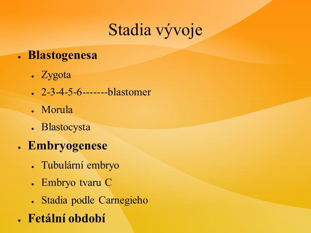 Stadia vývoje ● Blastogenesa ● Zygota ● 2-3-4-5-6-------blastomer ● Morula ● Blastocysta ● Embryogenese ● Tubulární embryo ● Embryo tvaru C ● Stadia podle Carnegieho ● Fetální období