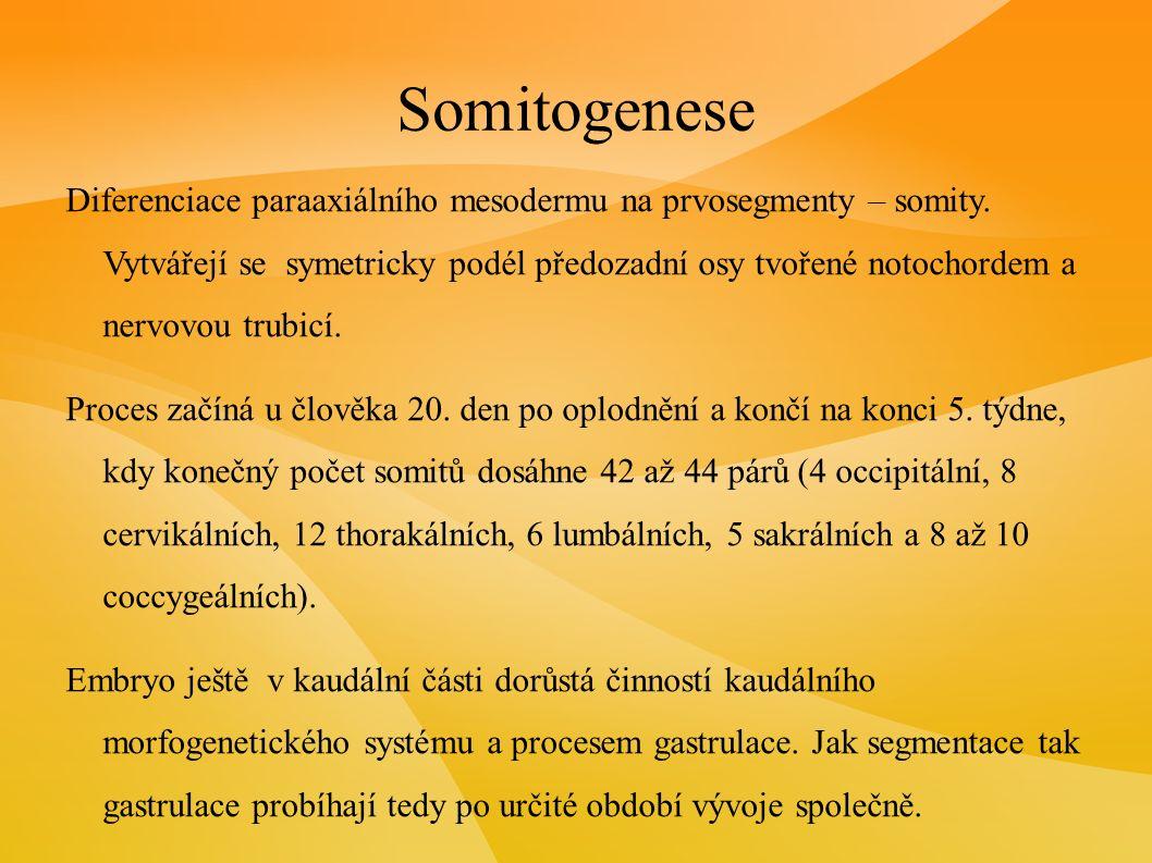 Somitogenese Diferenciace paraaxiálního mesodermu na prvosegmenty – somity.