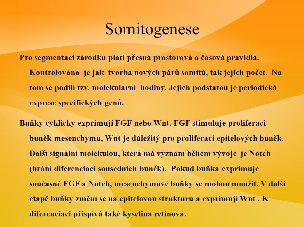 Somitogenese Somity se rozdělí na kraniální a kaudální část, později ještě na ventrální a dorsální část.