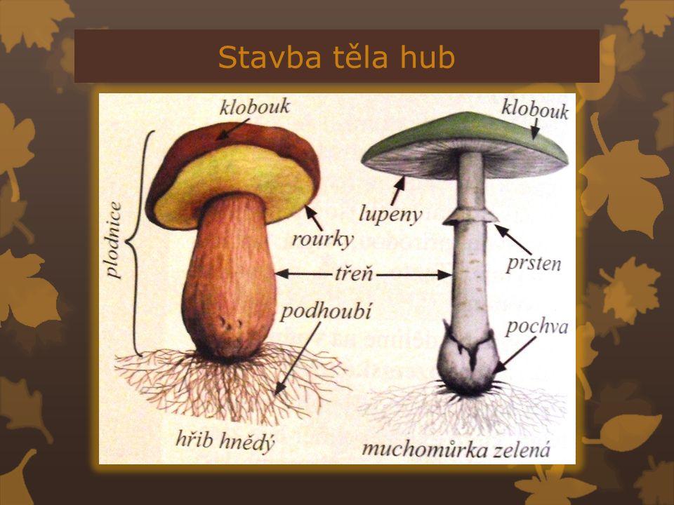 Stavba těla hub