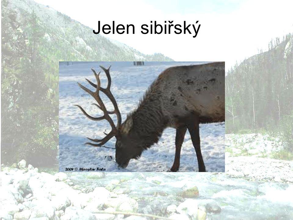 Jelen sibiřský