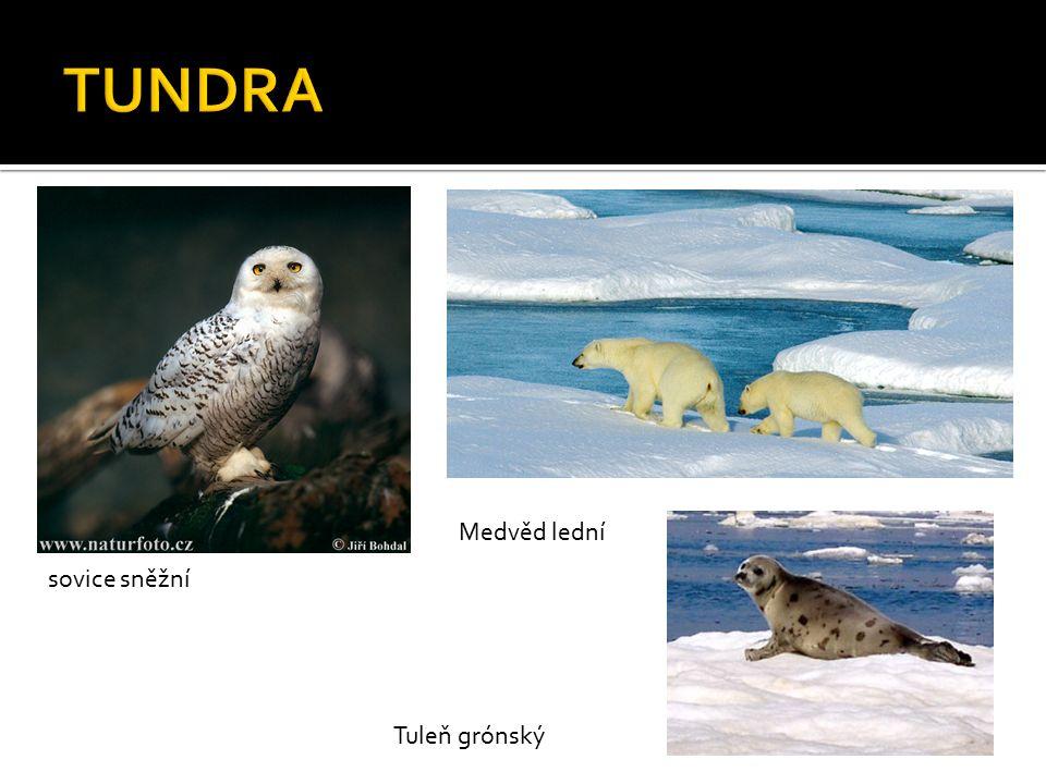 sovice sněžní Medvěd lední Tuleň grónský