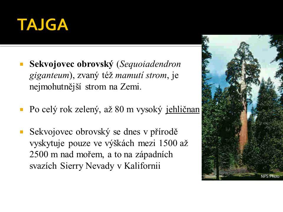  Sekvojovec obrovský (Sequoiadendron giganteum), zvaný též mamutí strom, je nejmohutnější strom na Zemi.