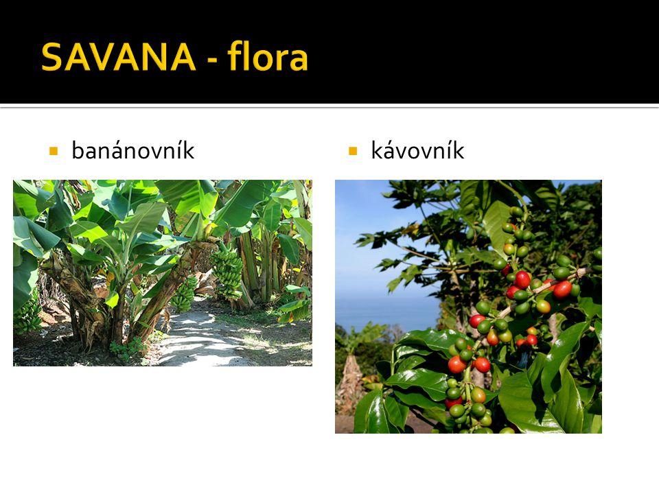  banánovník  kávovník