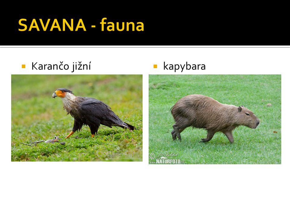  Karančo jižní  kapybara