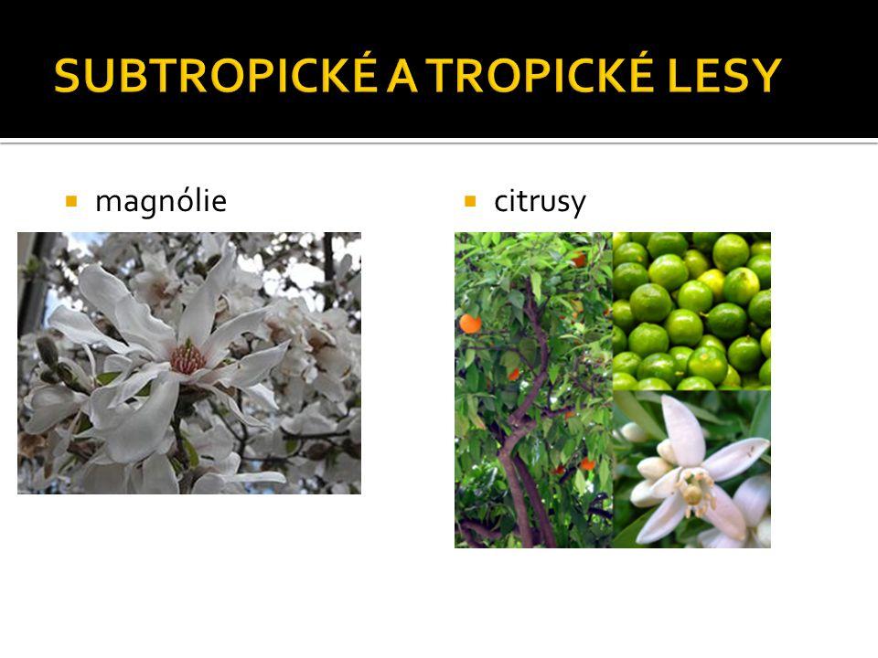  magnólie  citrusy