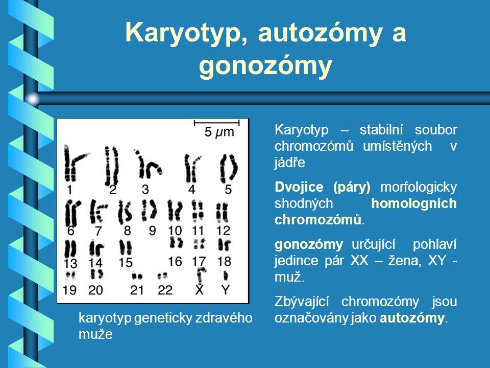 Karyotyp, autozómy a gonozómy Karyotyp – stabilní soubor chromozómů umístěných v jádře Dvojice (páry) morfologicky shodných homologních chromozómů. go