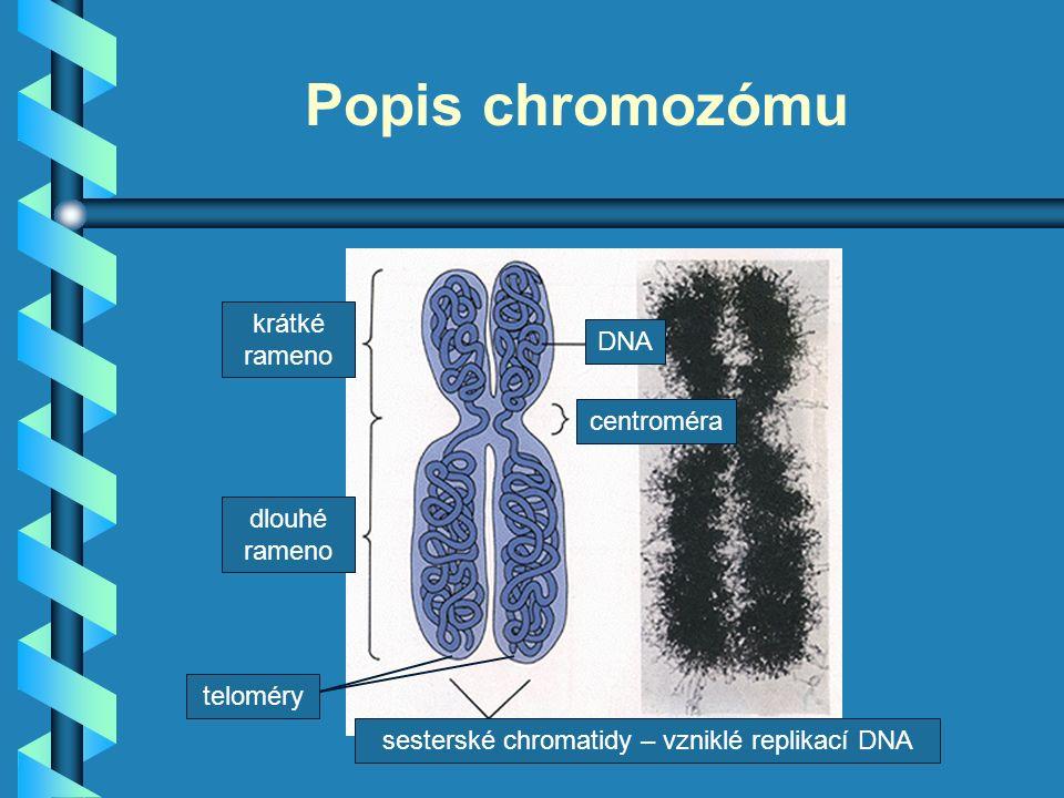 Popis chromozómu dlouhé rameno krátké rameno centroméra sesterské chromatidy – vzniklé replikací DNA DNA teloméry