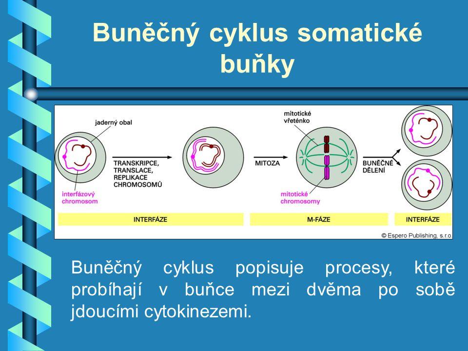 Buněčný cyklus somatické buňky Buněčný cyklus popisuje procesy, které probíhají v buňce mezi dvěma po sobě jdoucími cytokinezemi.