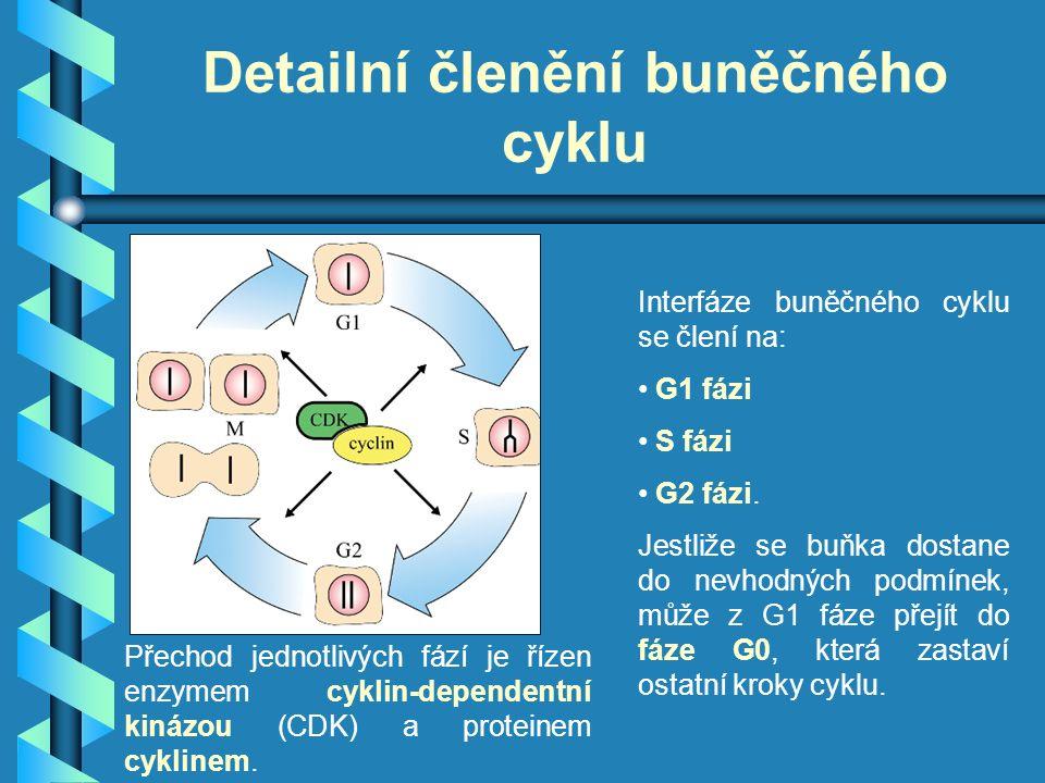 Detailní členění buněčného cyklu Interfáze buněčného cyklu se člení na: G1 fázi S fázi G2 fázi. Jestliže se buňka dostane do nevhodných podmínek, může