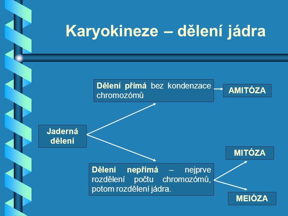 Karyokineze – dělení jádra Jaderná dělení Dělení přímá bez kondenzace chromozómů Dělení nepřímá – nejprve rozdělení počtu chromozómů, potom rozdělení