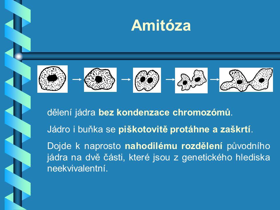 Amitóza dělení jádra bez kondenzace chromozómů. Jádro i buňka se piškotovitě protáhne a zaškrtí. Dojde k naprosto nahodilému rozdělení původního jádra