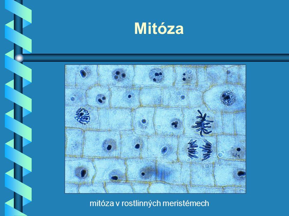 Mitóza mitóza v rostlinných meristémech