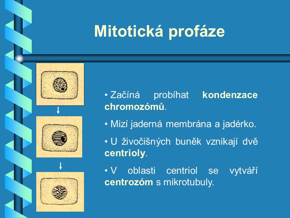 Mitotická profáze Začíná probíhat kondenzace chromozómů. Mizí jaderná membrána a jadérko. U živočišných buněk vznikají dvě centrioly. V oblasti centri