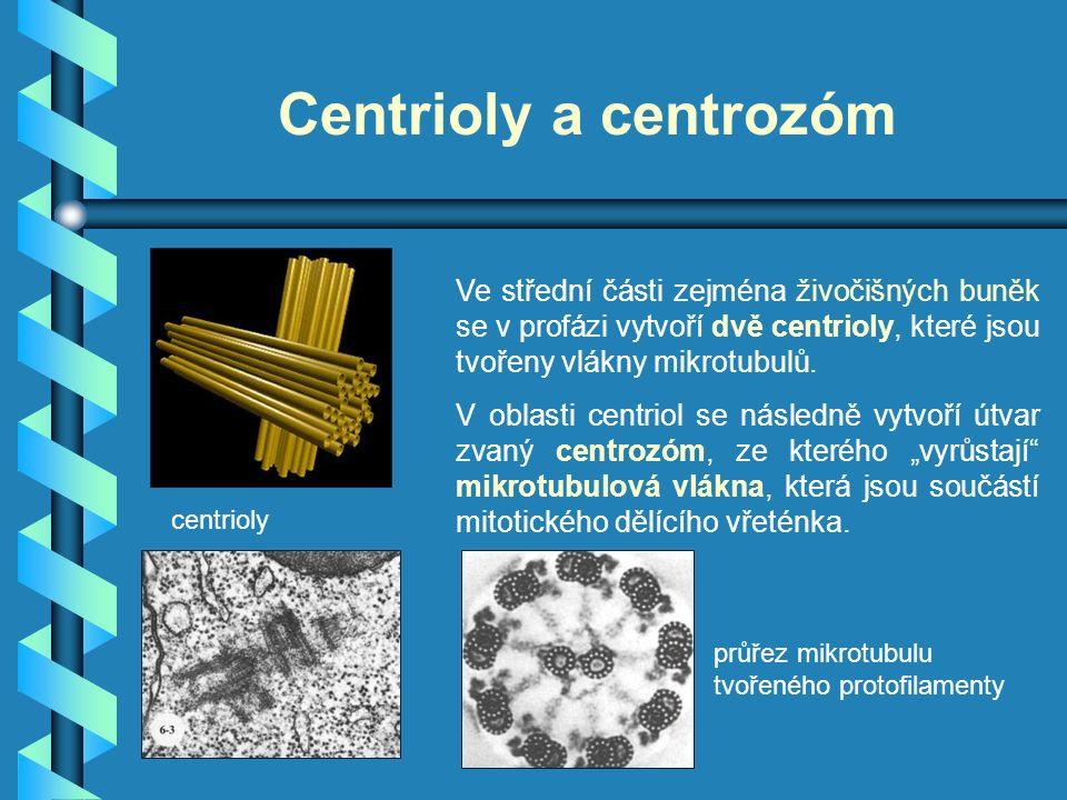 Centrioly a centrozóm Ve střední části zejména živočišných buněk se v profázi vytvoří dvě centrioly, které jsou tvořeny vlákny mikrotubulů. V oblasti