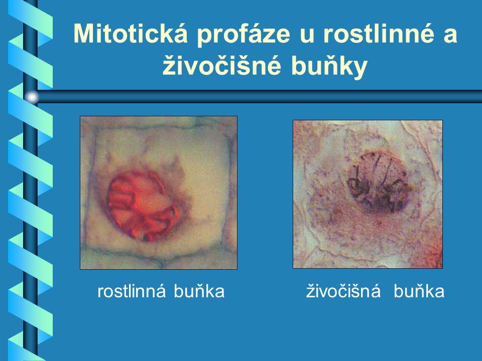 Mitotická profáze u rostlinné a živočišné buňky rostlinná buňkaživočišná buňka