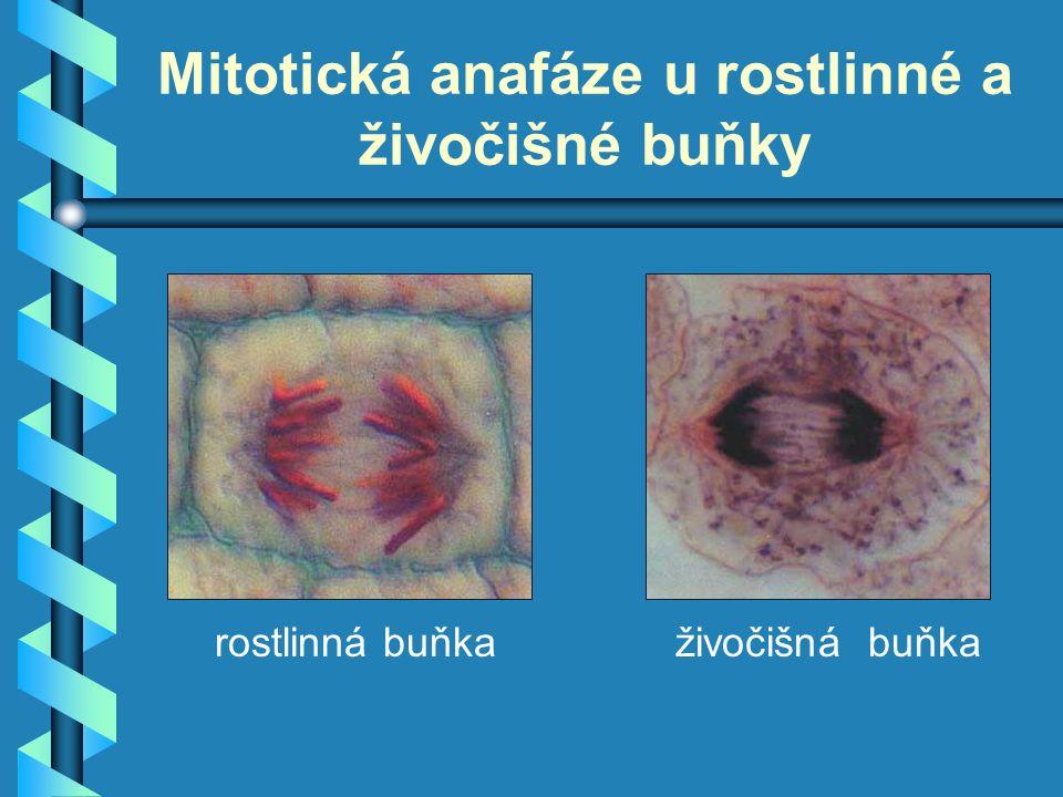 Mitotická anafáze u rostlinné a živočišné buňky rostlinná buňkaživočišná buňka