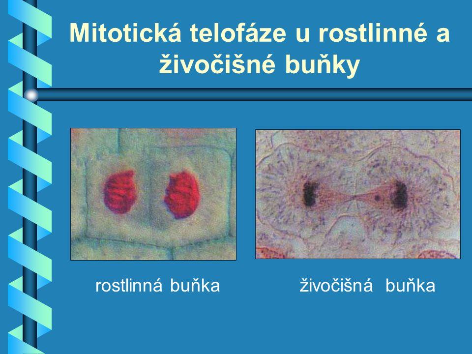 Mitotická telofáze u rostlinné a živočišné buňky rostlinná buňkaživočišná buňka