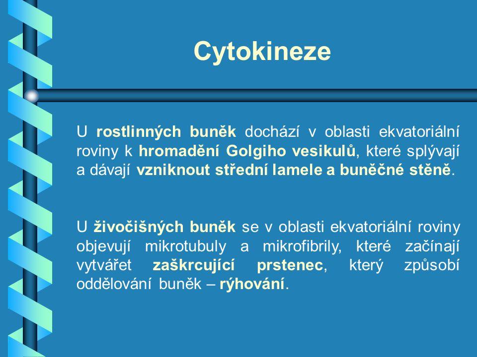 Cytokineze U rostlinných buněk dochází v oblasti ekvatoriální roviny k hromadění Golgiho vesikulů, které splývají a dávají vzniknout střední lamele a