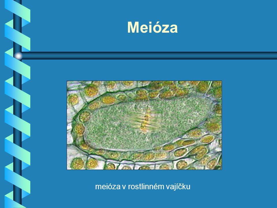 Meióza meióza v rostlinném vajíčku