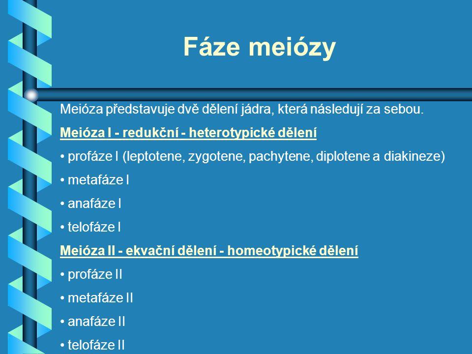 Fáze meiózy Meióza představuje dvě dělení jádra, která následují za sebou. Meióza I - redukční - heterotypické dělení profáze I (leptotene, zygotene,