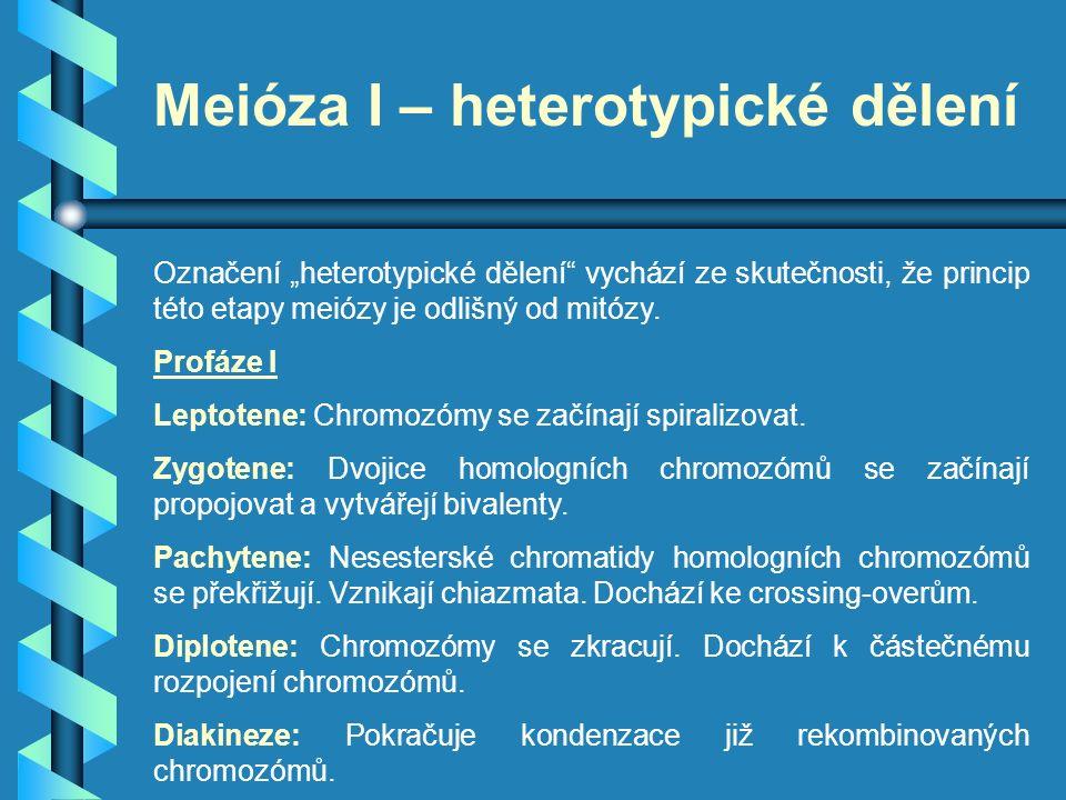 """Meióza I – heterotypické dělení Označení """"heterotypické dělení"""" vychází ze skutečnosti, že princip této etapy meiózy je odlišný od mitózy. Profáze I L"""