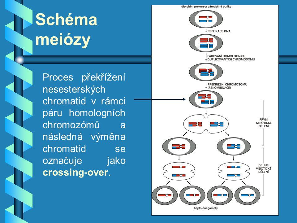 Schéma meiózy Proces překřížení nesesterských chromatid v rámci páru homologních chromozómů a následná výměna chromatid se označuje jako crossing-over
