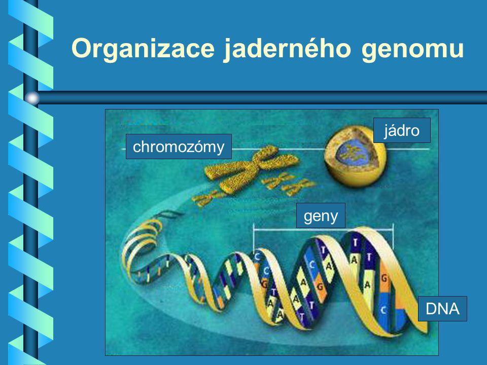 Kondenzace a dekondenzace DNA V jádrech buněk dochází ke střídání dvou stavů: 1.