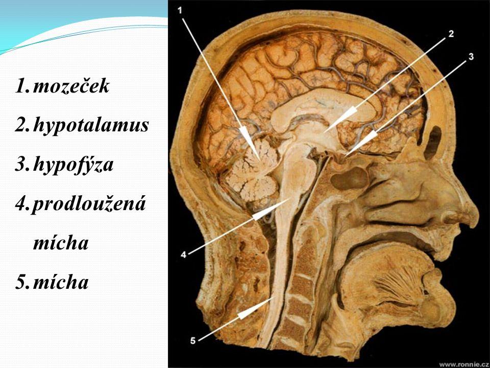 1.mozeček 2.hypotalamus 3.hypofýza 4.prodloužená mícha 5.mícha