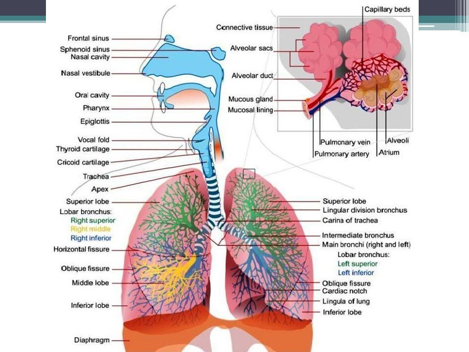 Shrnutí, klíčová slova alveolus pleura dýchací svaly ventilace, minutová ventilace distribuce v dýchacích cestách perfuze plic plicní difuze transport dýchacích plynů dýchací plyny hyperkapnie, hypokapnie atmosférický vzduch atmosférický tlak parciální tlak dechová frekvence spirometrie statické a dynamické plicní objemy, plicní kapacity ▫dechový objem, IRV, ERV, VC, TLC, FRC apod.