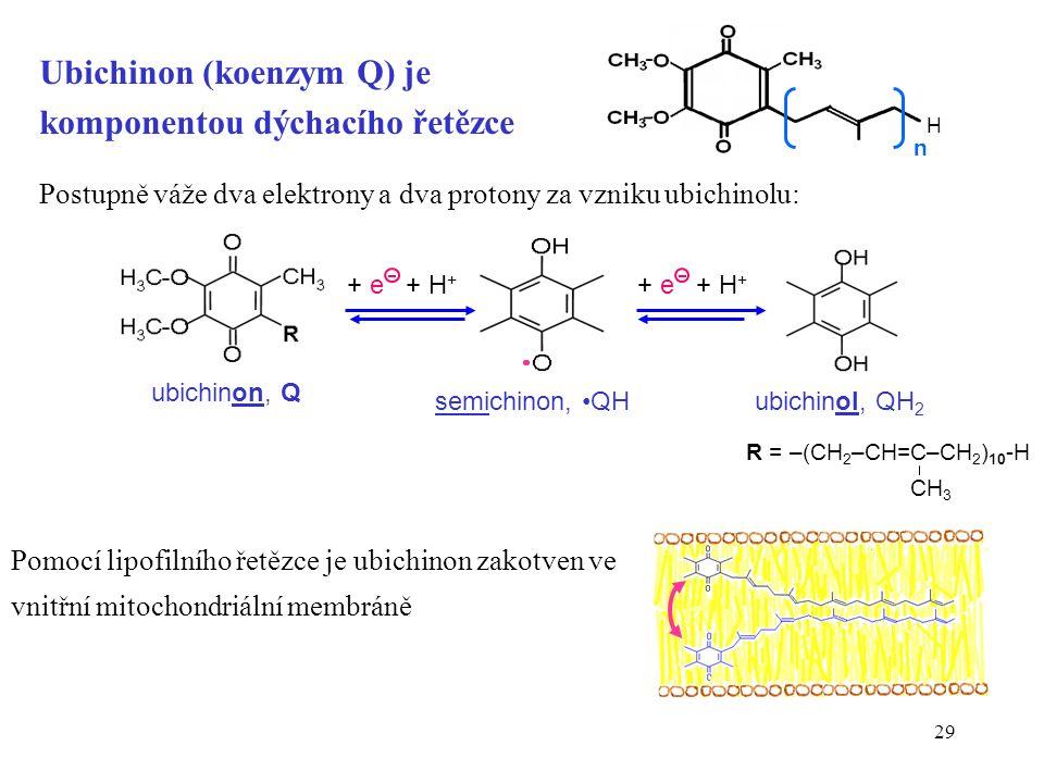 29 R = –(CH 2 –CH=C–CH 2 ) 10 -H CH 3 Postupně váže dva elektrony a dva protony za vzniku ubichinolu: + e + H + ubichinon, Q semichinon, QHubichinol, QH 2 + e + H + Ubichinon (koenzym Q) je komponentou dýchacího řetězce Pomocí lipofilního řetězce je ubichinon zakotven ve vnitřní mitochondriální membráně n H
