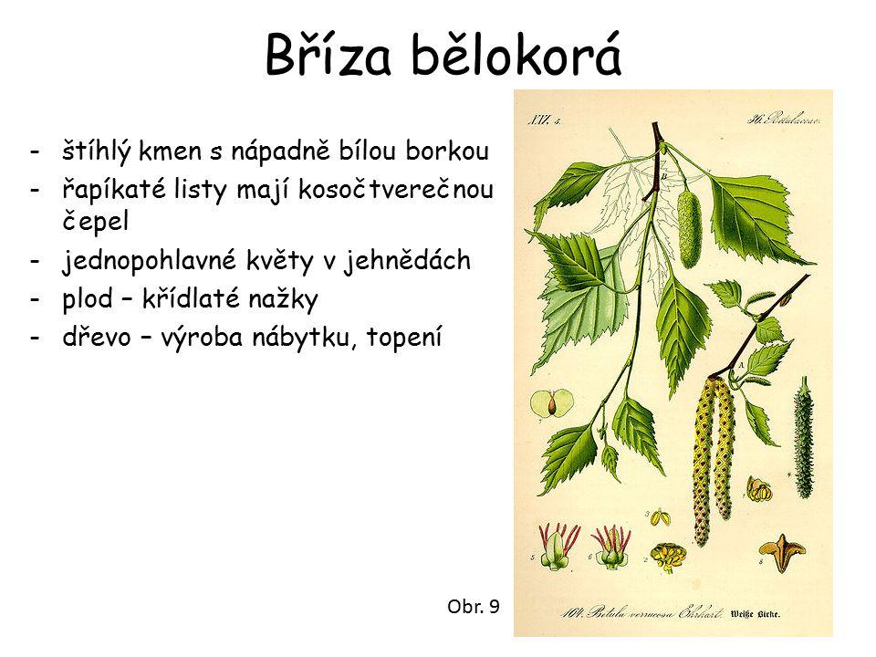 Bříza bělokorá -štíhlý kmen s nápadně bílou borkou -řapíkaté listy mají kosočtverečnou čepel -jednopohlavné květy v jehnědách -plod – křídlaté nažky -dřevo – výroba nábytku, topení Obr.