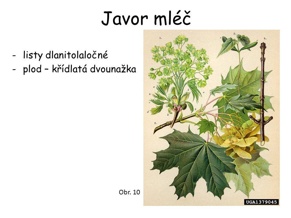 Javor mléč -listy dlanitolaločné -plod – křídlatá dvounažka Obr. 10
