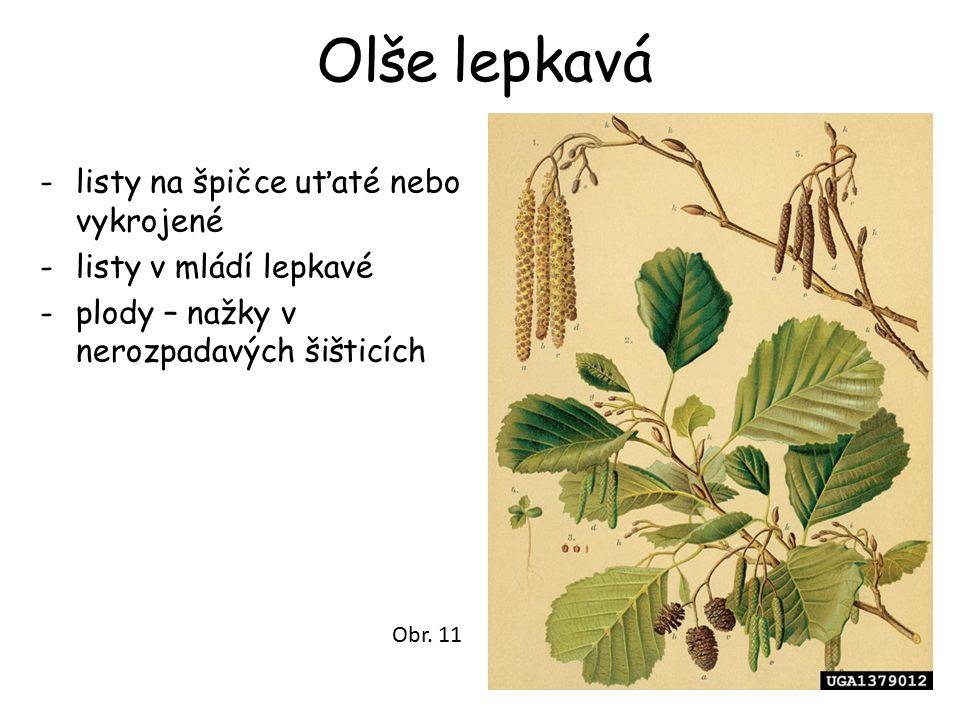 Olše lepkavá -listy na špičce uťaté nebo vykrojené -listy v mládí lepkavé -plody – nažky v nerozpadavých šišticích Obr. 11