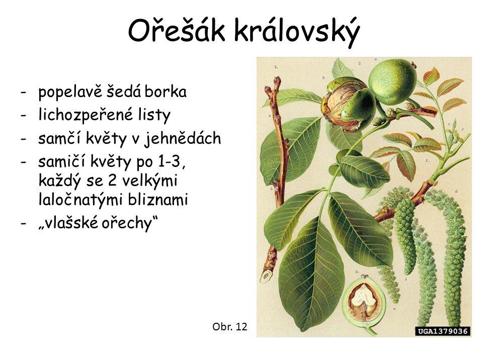 """Ořešák královský -popelavě šedá borka -lichozpeřené listy -samčí květy v jehnědách -samičí květy po 1-3, každý se 2 velkými laločnatými bliznami -""""vla"""