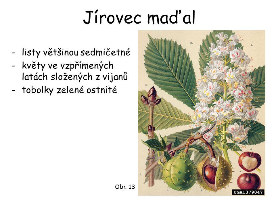 Jírovec maďal -listy většinou sedmičetné -květy ve vzpřímených latách složených z vijanů -tobolky zelené ostnité Obr. 13