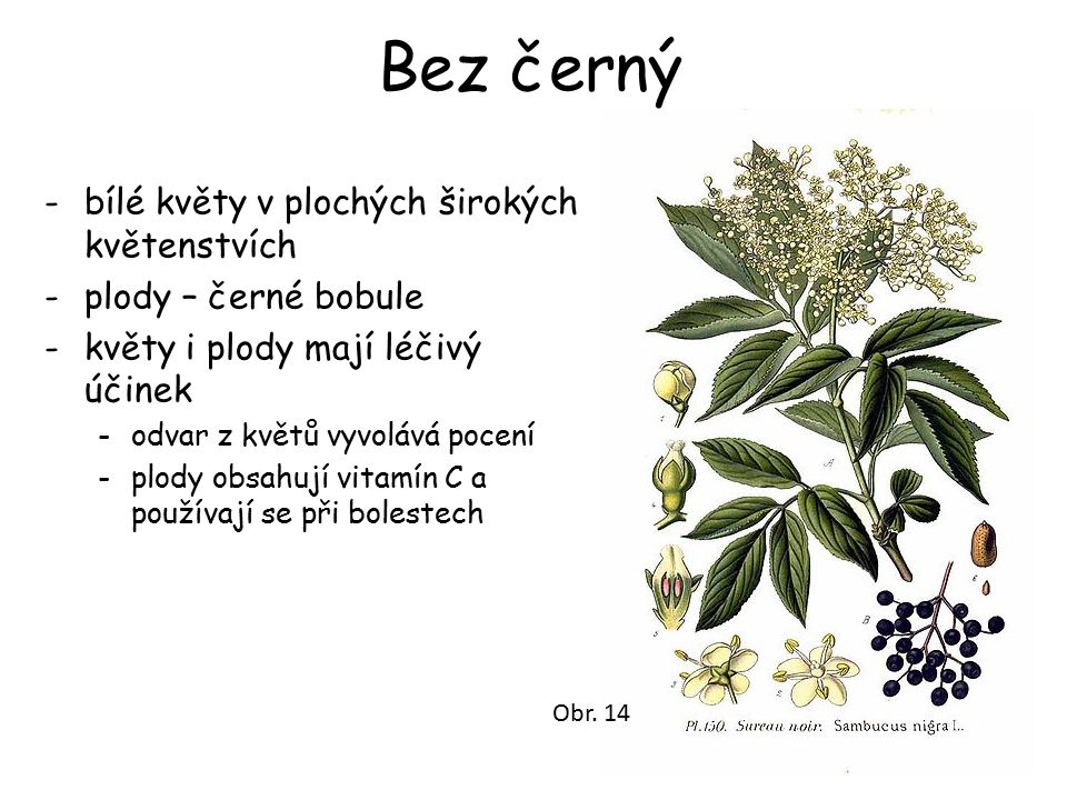 Bez černý -bílé květy v plochých širokých květenstvích -plody – černé bobule -květy i plody mají léčivý účinek -odvar z květů vyvolává pocení -plody obsahují vitamín C a používají se při bolestech Obr.