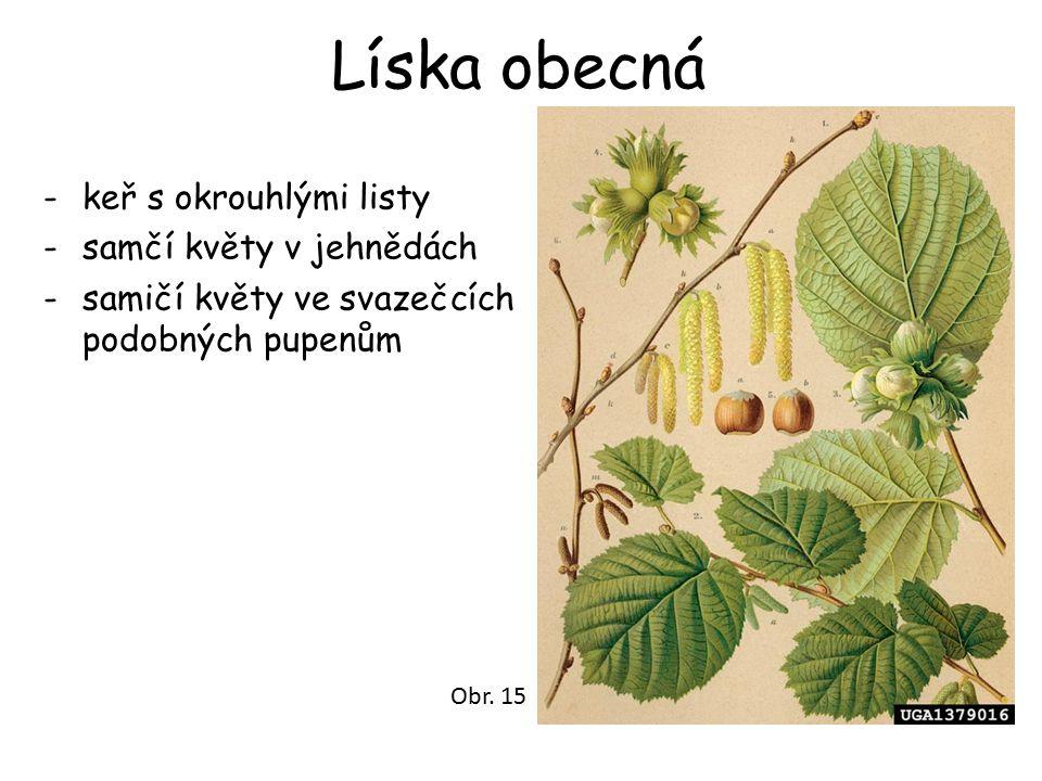 Líska obecná -keř s okrouhlými listy -samčí květy v jehnědách -samičí květy ve svazečcích podobných pupenům Obr. 15