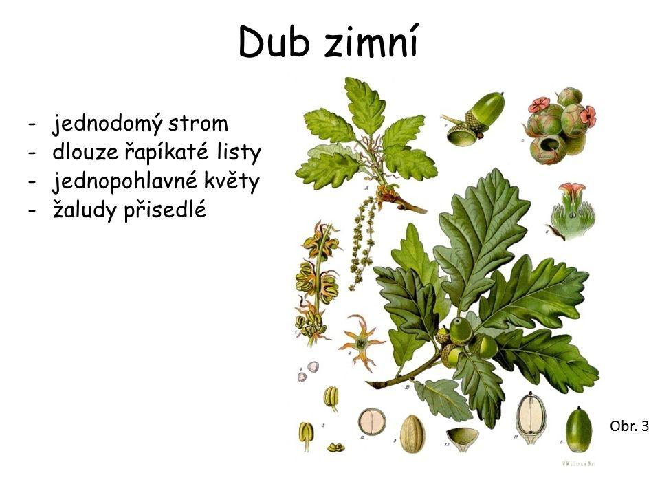 Dub zimní -jednodomý strom -dlouze řapíkaté listy -jednopohlavné květy -žaludy přisedlé Obr. 3
