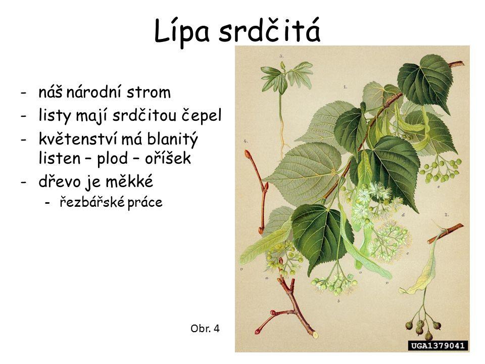Lípa srdčitá -náš národní strom -listy mají srdčitou čepel -květenství má blanitý listen – plod – oříšek -dřevo je měkké -řezbářské práce Obr. 4