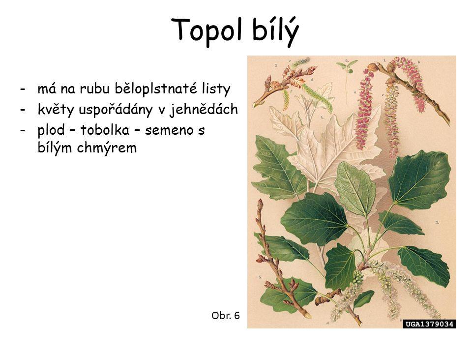 Topol bílý -má na rubu běloplstnaté listy -květy uspořádány v jehnědách -plod – tobolka – semeno s bílým chmýrem Obr.