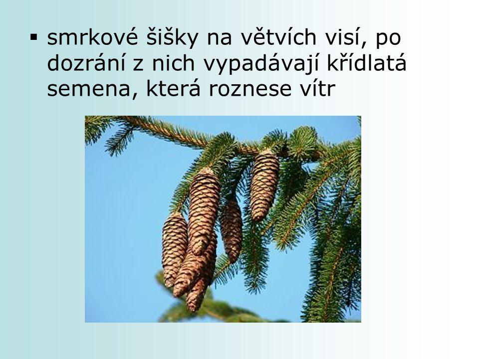  smrkové šišky na větvích visí, po dozrání z nich vypadávají křídlatá semena, která roznese vítr